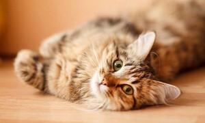 Κορονοϊός: Οι γάτες μπορούν να μολυνθούν και να τον μεταδώσουν σε άλλες γάτες, όχι σε ανθρώπους