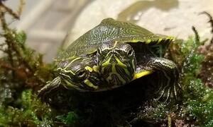 Απίστευτο - Ανακαλύφθηκε χελωνίτσα με δύο κεφάλια και κινδυνεύει (photos+video)