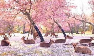 Όμορφες εικόνες - Εκατοντάδες ελάφια απολαμβάνουν την ηρεμία σε πολυσύχναστο πάρκο (photos+video)
