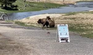 Σκληρή μάχη! Βίσωνας επιτίθεται σε αρκούδα - Η συνέχεια σοκάρει (video)