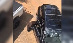 Αρκούδα ανοίγει αυτοκίνητο και το… επιθεωρεί (video)