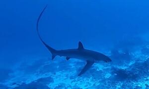 Δύτης έρχεται τετ α τετ με καρχαρία θεριστή! Για καλή του τύχη ο καρχαρίας... (video)