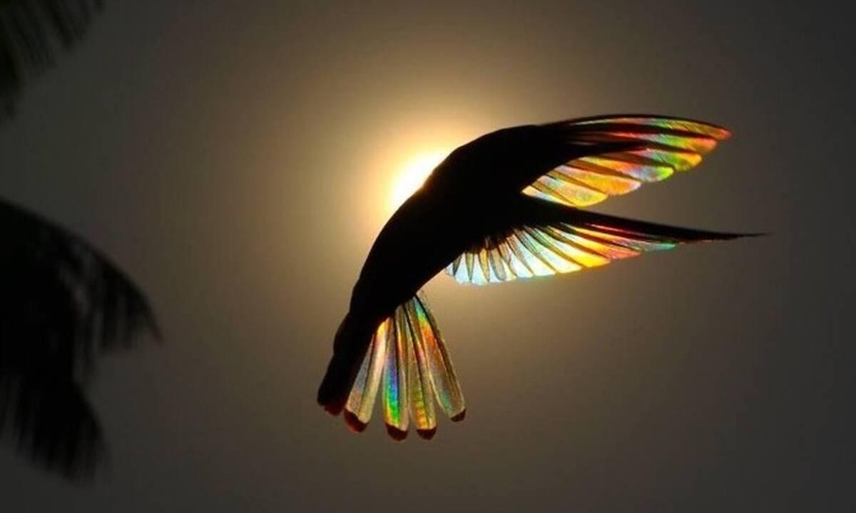 Τα φτερά των κολιμπρί γίνονται «ουράνια τόξα» (photos)