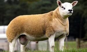 Αυτό είναι το πιο ακριβό πρόβατο - Πωλήθηκε για μυθικό ποσό (video)