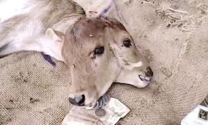 Τρομερές εικόνες - Γεννήθηκε μοσχαράκι με δύο κεφάλια (video)