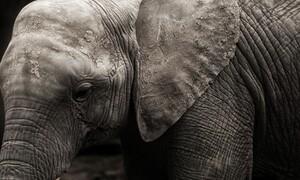 Χάος σε δρόμο - Στρατός διέκοψε την κυκλοφορία για έναν ελέφαντα (video)