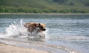 Αρκούδα περνάει το δρόμο με ψαριά έναν τεράστιο σολομό (video)