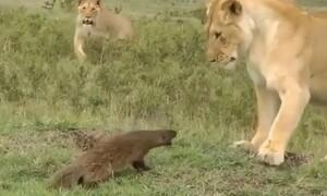 Μαγκούστα τα έβαλε με λιοντάρια - Έκπληξη με τον νικητή (video)