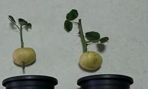 Fake ή αλήθεια; Τι θα συμβεί αν βάλεις ένα τριαντάφυλλο σε μια πατάτα; (video)