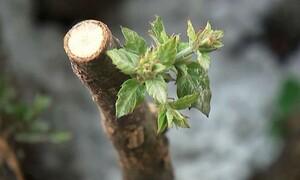 Απίστευτο: Έρχεται κλωνοποίηση πολύτιμων δέντρων (video)