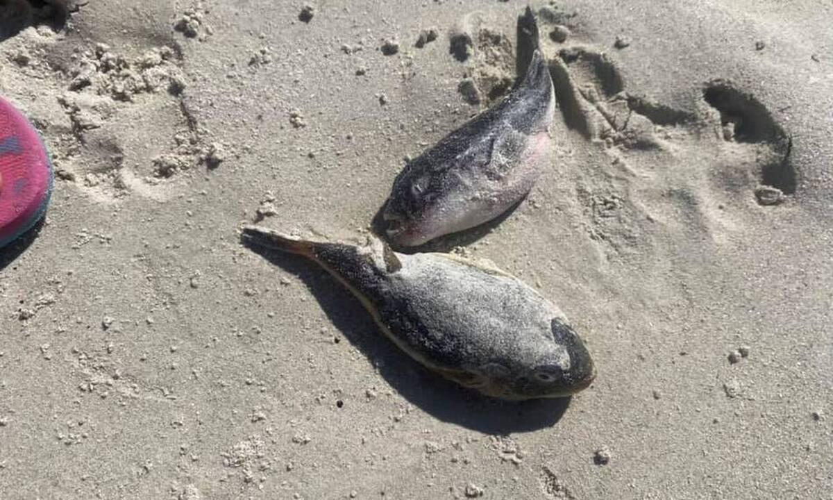 Απόκοσμες εικόνες: Παραλία γέμισε με νεκρά δηλητηριώδη ψάρια (pics)